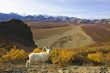 Dall's Sheep (Ovis dalli) ram on fall tundra, Denali National Park, Alaska  -  Yva Momatiuk & John Eastcott