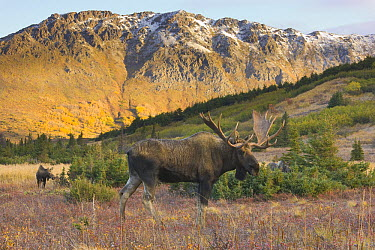 Alaska Moose (Alces alces gigas) bull and distant cow during breeding season, Chugach State Park, Alaska  -  Yva Momatiuk & John Eastcott