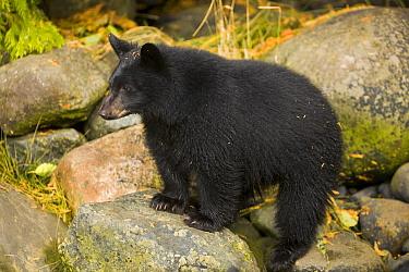 Black Bear (Ursus americanus) cub waiting for mother on salmon stream bank, Vancouver Island, British Columbia, Canada  -  Yva Momatiuk & John Eastcott