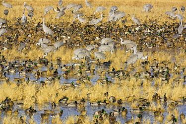 Sandhill Crane (Grus canadensis) and Mallard (Anas platyrhynchos) ducks feeding in wetland and grain field in managed habitat, Bosque del Apache National Wildlife Refuge, New Mexico  -  Yva Momatiuk & John Eastcott