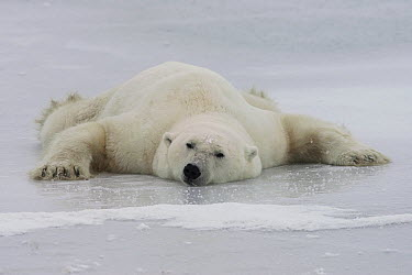 Polar Bear (Ursus maritimus) cooling off on a frozen lake, Churchill, Manitoba, Canada  -  Matthias Breiter