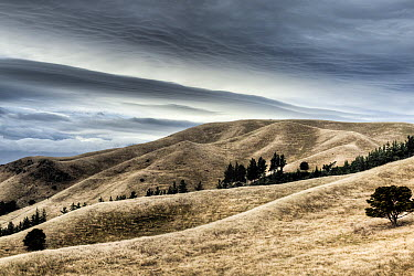 Windblown dry grass on hills near Seddon with storm clouds overhead, Marlborough, New Zealand  -  Colin Monteath/ Hedgehog House