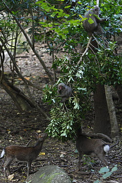 Sika Deer (Cervus nippon) pair feeding on fallen fruit dropped by monkeys, Yakushima Island, Japan  -  Cyril Ruoso