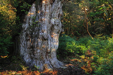 Japanese Cedar (Cryptomeria japonica), Jomon Sugi, the oldest and largest of its kind is at least two thousand years old, Yakushima Island, Japan  -  Cyril Ruoso