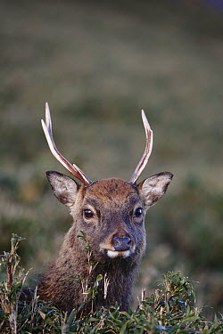 Sika Deer (Cervus nippon) male amid dwarf bamboo on the central plateau of Yakushima Island, Japan  -  Cyril Ruoso