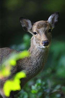 Sika Deer (Cervus nippon) female, Yakushima Island, Japan  -  Cyril Ruoso