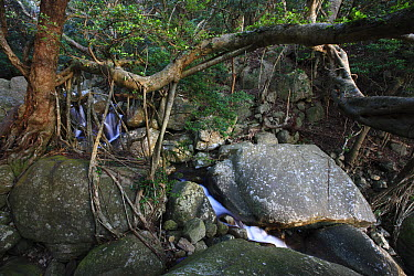 Fig (Ficus sp) tree and its roots, Yakushima Island, Japan  -  Cyril Ruoso