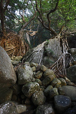 Fig (Ficus sp) trees with roots spanning over rocks, Yakushima Island, Japan  -  Cyril Ruoso