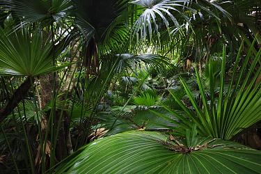 Chusan Palm (Trachycarpus fortunei) introduced species on Yakushima Island, Japan  -  Cyril Ruoso