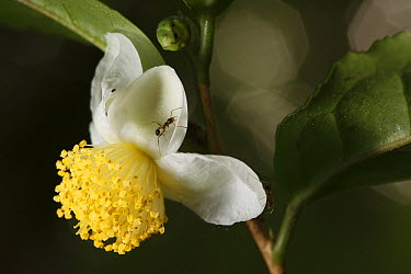 Black Tea (Camellia sinensis) flower with ant, Yakushima Island, Japan  -  Cyril Ruoso