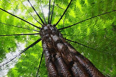 Treefern (Cyathea sp), Yakushima Island, Japan  -  Cyril Ruoso