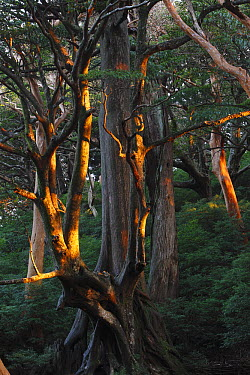 Stewartia (Stewartia sp) tree at sunrise, Yakushima Island, Japan  -  Cyril Ruoso