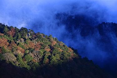 Primary temperate rainforest, Yakushima Mountains, Yakushima Island, Japan  -  Cyril Ruoso