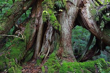 Temperate rainforest of Shiratani Unsuikyo, Yakushima Island, Japan  -  Cyril Ruoso