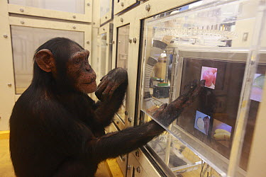 Chimpanzee (Pan troglodytes) in drawing versus photo recognition experiment, Tokyo University, Inuyama, Japan  -  Cyril Ruoso