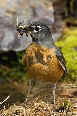 American Robin (Turdus migratorius) gathering nest material, northwest Montana  -  Donald M. Jones