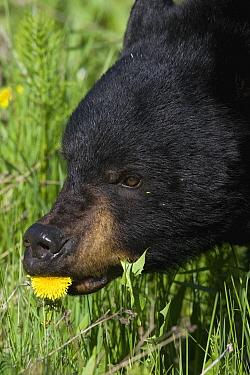Black Bear (Ursus americanus) eating a Dandelion (Taraxacum officinale) flower, western Montana  -  Donald M. Jones