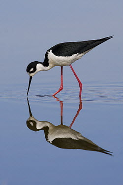 Black-necked Stilt (Himantopus mexicanus) feeding in a small pond, central Montana  -  Donald M. Jones