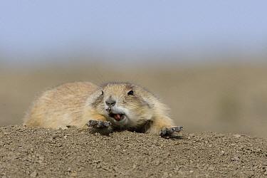 Black-tailed Prairie Dog (Cynomys ludovicianus) stretching and yawning, eastern Montana  -  Donald M. Jones