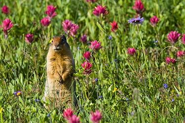 Columbian Ground Squirrel (Spermophilus columbianus) standing amongst flowers, Glacier National Park, Montana  -  Donald M. Jones