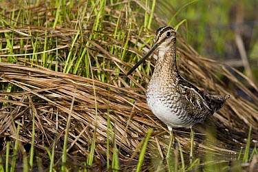 Common Snipe (Gallinago gallinago) in wetland, western Montana  -  Donald M. Jones