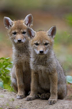 Coyote (Canis latrans) six week old pups, western Montana  -  Donald M. Jones