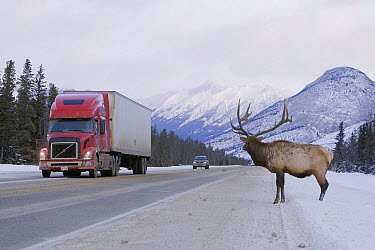 American Elk (Cervus elaphus nelsoni) bull attempting to cross the Trans-Canadian Highway, Jasper National Park, Alberta, Canada  -  Donald M. Jones