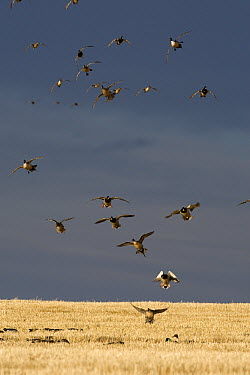 Mallard (Anas platyrhynchos), Northern Pintail (Anas acuta) and American Wigeon (Anas americana) flock landing in barley field, central Montana  -  Donald M. Jones