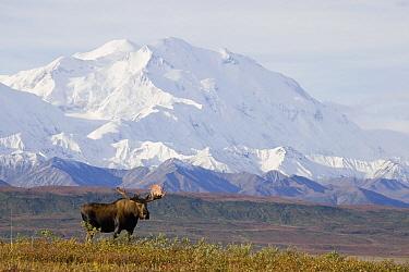 Alaska Moose (Alces alces gigas) bull standing on tundra with Mount Denali in background, Denali National Park, Alaska  -  Donald M. Jones