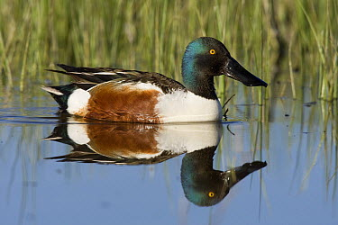 Northern Shoveler (Anas clypeata) male in pond, central Montana  -  Donald M. Jones