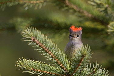 Ruby-crowned Kinglet (Regulus calendula) male with crown raised, western Montana  -  Donald M. Jones