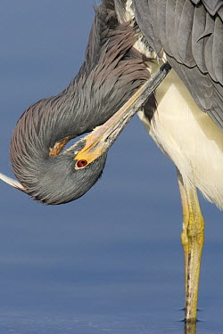 Tricolored Heron (Egretta tricolor) preening, Sarasota, Florida  -  Donald M. Jones