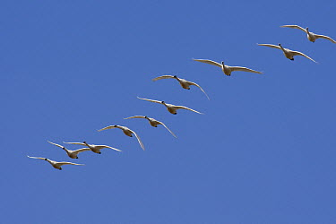 Tundra Swan (Cygnus columbianus) flock flying, central Montana  -  Donald M. Jones