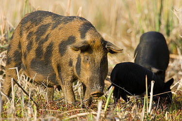 Wild Boar (Sus scrofa) sow with piglets, central Florida  -  Donald M. Jones