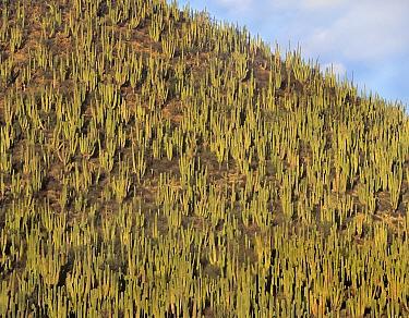 Organ Pipe Cactus (Stenocereus thurberi) cluster covering hillside, Guaymas, Sonora, Mexico  -  Tim Fitzharris