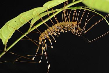 Centipede (Scutigera sp) on underside of leaf, Miri, Sarawak, Borneo, Malaysia  -  Ch'ien Lee