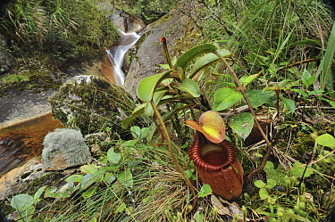 Villose Pitcher Plant (Nepenthes villosa) a high-altitude carnivorous variety, Kinabalu National Park, Borneo, Malaysia  -  Ch'ien Lee