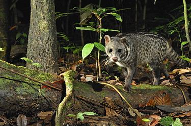 Malayan Civet (Viverra tangalunga), Danum Valley Conservation Area, Borneo, Malaysia  -  Ch'ien Lee