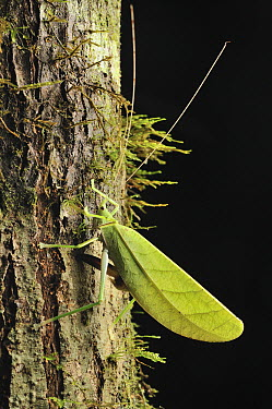 Katydid (Tettigoniidae) female ovipositing eggs under tree bark, Danum Valley Conservation Area, Borneo, Malaysia  -  Ch'ien Lee