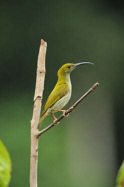 Grey-breasted Spiderhunter (Arachnothera affinis), Danum Valley Conservation Area, Borneo, Malaysia  -  Ch'ien Lee