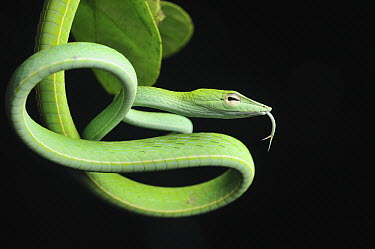 Oriental Whip Snake (Ahaetulla prasina) with extended tongue, Danum Valley Conservation Area, Borneo, Malaysia  -  Ch'ien Lee