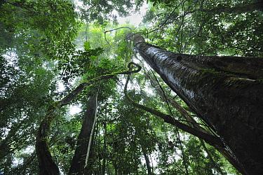 Lowland rainforest interior, Sabah, Danum Valley Conservation Area, Borneo, Malaysia  -  Ch'ien Lee