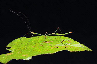 Stick Insect (Carausius sanguineoligatus) male showing bright red knees, Mount Kinabalu National Park, Borneo, Malaysia  -  Ch'ien Lee