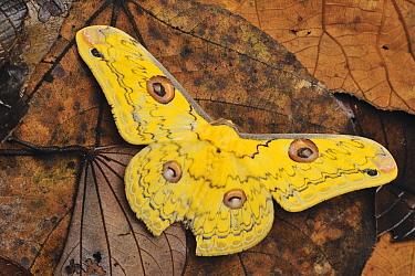 Saturniid Moth (Loepa megacore), Mount Kinabalu National Park, Borneo, Malaysia  -  Ch'ien Lee