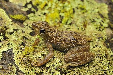 Borneo Splash Frog (Staurois tuberilinguis), Mount Kinabalu National Park, Borneo, Malaysia  -  Ch'ien Lee