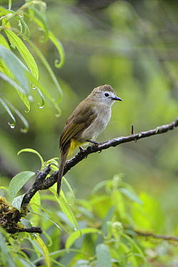Flavescent Bulbul (Pycnonotus flavescens), Mount Kinabalu National Park, Borneo, Malaysia  -  Ch'ien Lee