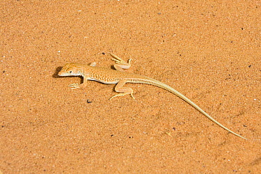 Wall Lizard (Mesalina sp) on sand, Libya  -  Konrad Wothe