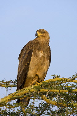 Tawny Eagle (Aquila rapax), Masai Mara National Reserve, Kenya  -  Suzi Eszterhas