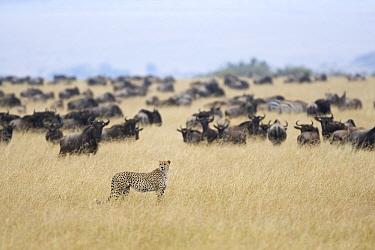Cheetah (Acinonyx jubatus) male near Blue Wildebeest (Connochaetes taurinus) herd, Masai Mara National Reserve, Kenya  -  Suzi Eszterhas