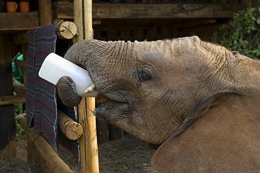 African Elephant (Loxodonta africana) young orphan drinking from bottle, Daphne Sheldrick's Elephant Orphanage, Nairobi, Kenya  -  Suzi Eszterhas